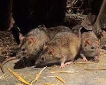 Lassa-rats-220x177