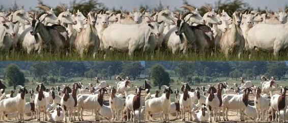 Goat-restocking-566x243