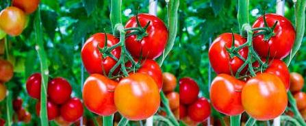 Tomatoes-Farming-447x184